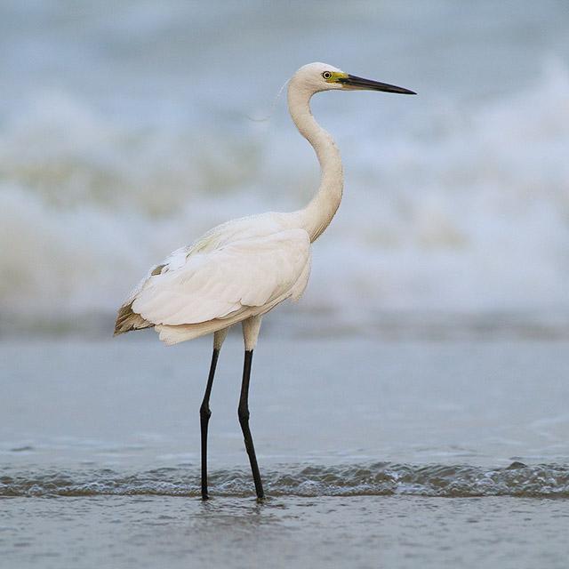 Egret-IMG_6552