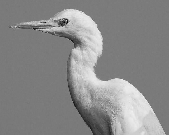 Egret-portrait-IMG_7291-1