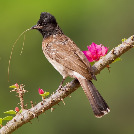 Bulbul with nesting material