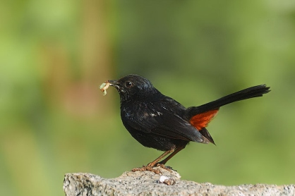 Indian Robin with a catch